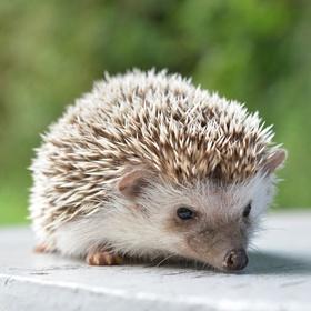 Adopt a hedgehog - Bucket List Ideas