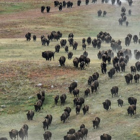 Watch the Annual Buffalo Roundup in Custer State Park, South Dakota - Bucket List Ideas