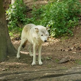 Einen Wolf in der Natur beobachten - Bucket List Ideas