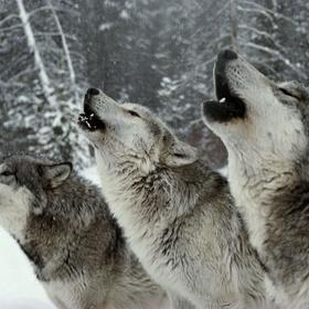 Hear a wolf call in the wild - Bucket List Ideas