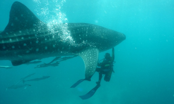 Swim with a whale shark - Bucket List Ideas