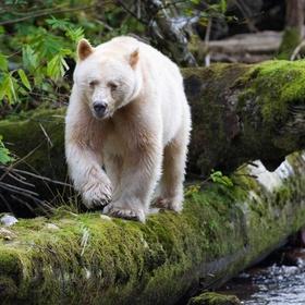 Be Charmed By A Spirit Bear - Bucket List Ideas