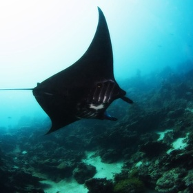 Scuba dive with the black morph manta rays in Pohnpei - Bucket List Ideas