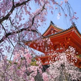 Attend Sakura Matsuri -cherry blossom festival- - Bucket List Ideas