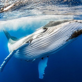 Swim with Humpback Whales in Tonga - Bucket List Ideas