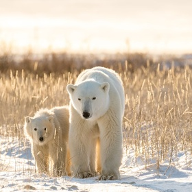 See the Polar Bears in the Wild (not in the Zoo) Before They're Gone - Bucket List Ideas