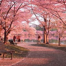 See the Cherry Trees Grow in Washington D.C - Bucket List Ideas