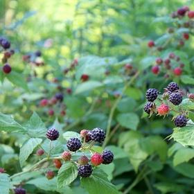 Grow raspberries - Bucket List Ideas
