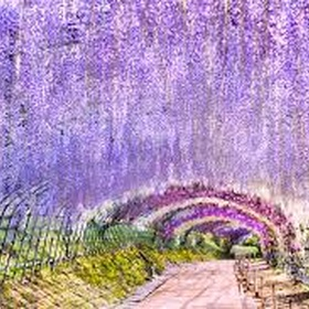 Walk thru the wisteria tunnel at kawachi fuji gardens - Bucket List Ideas