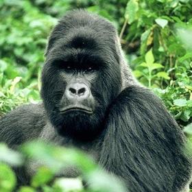 See the Gorillas in the Mist - Bucket List Ideas