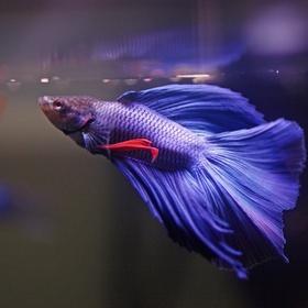 Get a Betta Fish - Bucket List Ideas