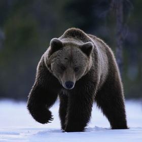 See a bear in the wild - Bucket List Ideas
