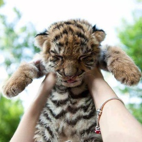 Take tiger a baby to my arms - Bucket List Ideas