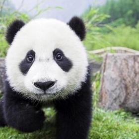 Visit the Chengdu Panda Breeding Center - Bucket List Ideas
