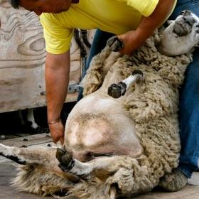 Shave a sheep - Bucket List Ideas