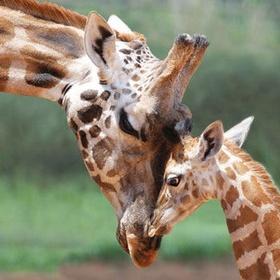 Close-up Encounters - Giraffe - Bucket List Ideas