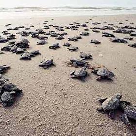 Watch baby sea turles hatch - Bucket List Ideas