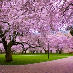 Go to a cherry blossom festival in Japan - Bucket List Ideas
