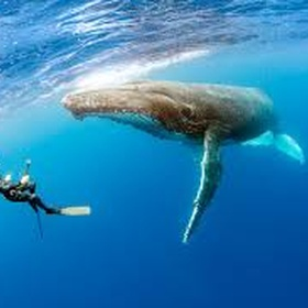 Go Diving with Humpback Whales - Bucket List Ideas