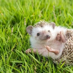 Have a pet hedgehog - Bucket List Ideas