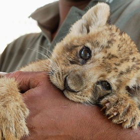 Hold a Baby Lion - Bucket List Ideas