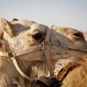 Ride a camel through the desert - Bucket List Ideas