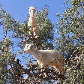 See the tree goats of Morocco - Bucket List Ideas
