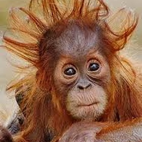 See an Orangutan in Borneo - Bucket List Ideas