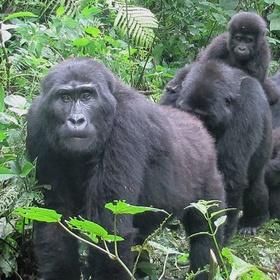See Mountain Gorillas in the wild - Bucket List Ideas