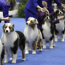 Take the Kids to an AKC Conformation Show - Bucket List Ideas