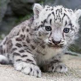 See a snow leopard - Bucket List Ideas