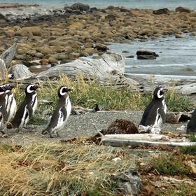 Penguin watching in chile - Bucket List Ideas