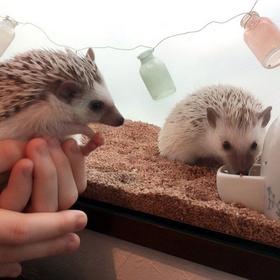 Play with the Hedgehogs at Café Harry - Bucket List Ideas