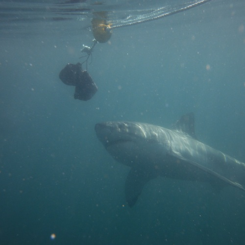 Cage dive with Great White sharks - Bucket List Ideas