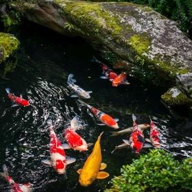 Have a koi pond - Bucket List Ideas
