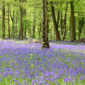 See the fields of bluebells in Micheldever Wood, Hampshire, England - Bucket List Ideas