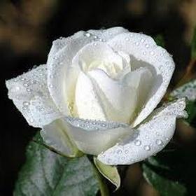 Receive white roses - Bucket List Ideas