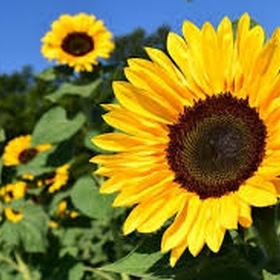 Grow sunflowers - Bucket List Ideas