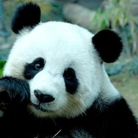 Meet a real life panda - Bucket List Ideas