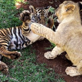 Hold a baby Lion and Tiger - Bucket List Ideas