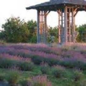 Visit Willowfield Lavender Farm - Bucket List Ideas