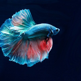 Buy a Beta fish - Bucket List Ideas