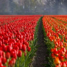 See the tulip fields in the Netherlands - Bucket List Ideas