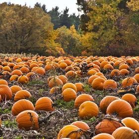 Pick my own pumpkin from a pumpkin patch - Bucket List Ideas