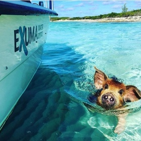 Feed the swimming pigs in Exuma, Bahamas - Bucket List Ideas