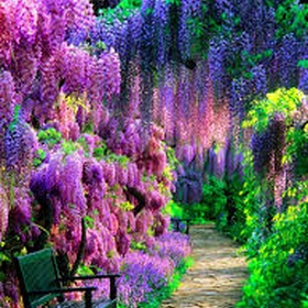 Walk through the Wisteria Tunnel in Japan - Bucket List Ideas