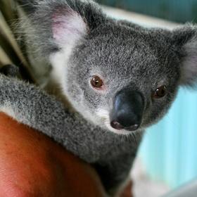 Hold a Koala Bear - Bucket List Ideas