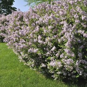 Have a lilac bush - Bucket List Ideas