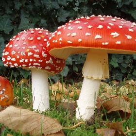 Find a fly agaric mushroom - Bucket List Ideas