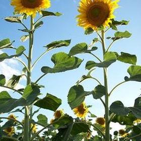Plant and grow sunflowers - Bucket List Ideas